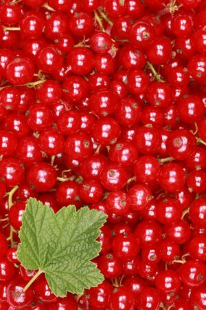 red currants: Freshly picked red currants with a leaf forming a background with copy space Stock Photo