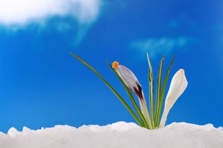 In winter or spring the first crocuses come through the snow photo