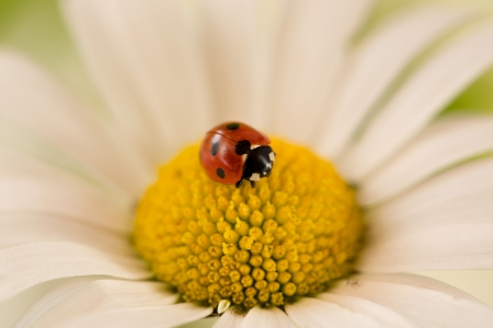 margarite: A ladybug on the blossom of a daisy flower