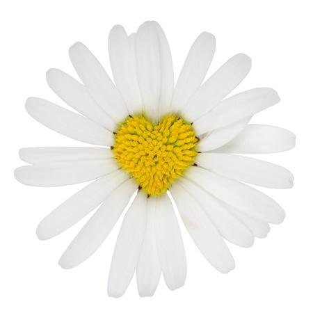 margarite: Heart shaped blossom of Marguerite flower love topic Stock Photo
