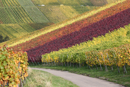 wineyard: Path in the colorful vineyards in autumn during the wine grapes harvest