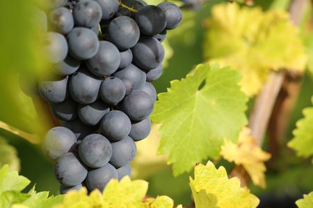 wineyard: Red wine grapes on the vine in autumn Stock Photo