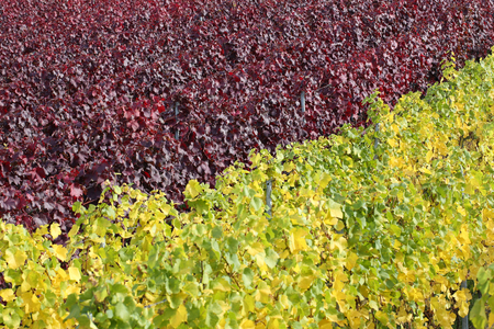 wineyard: Colorful vineyards with vines for red and white wine in autumn Stock Photo
