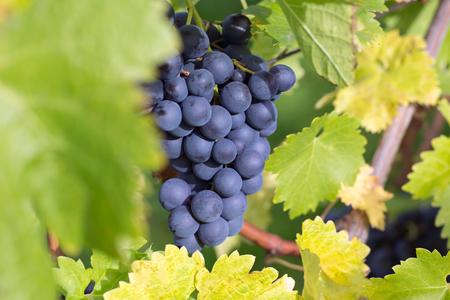 uvas vino: Las uvas de vino en un estante del vino en el oto�o en la naturaleza Foto de archivo
