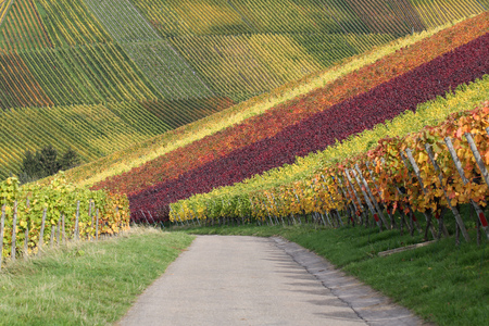 wineyard: Path in the colorful vineyards in autumn with wine grapes