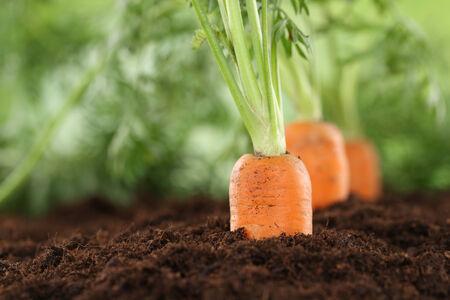 zanahoria: ALIMENTACIÓN SANA zanahorias maduras en el jardín vegetal en la naturaleza