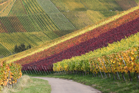 wineyard: Landscape in autumn with colorful vineyards and wine grapes Stock Photo