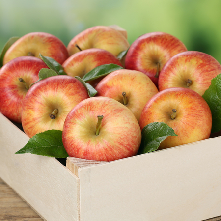 freshly picked: Freshly picked apples in a wooden box during harvest in autumn Stock Photo