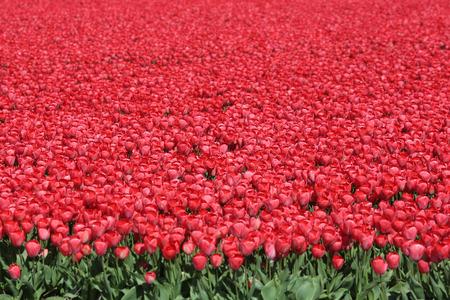 campo de flores: Primavera de Países Bajos Campo de flor de tulipán tulipanes rojos flores de Holanda Foto de archivo