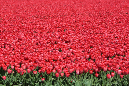 champs de fleurs: Spring in Netherlands tulip flower field red tulips flowers Holland Banque d'images