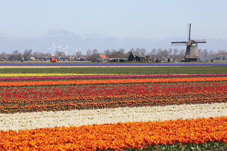 Spring in Netherlands tulip flower field red tulips flowers windmill Holland