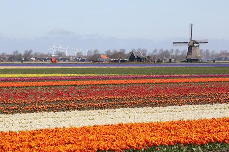 tulip: Wiosna w Holandii tulipan pola czerwone tulipany kwiaty wiatrak Holland Zdjęcie Seryjne