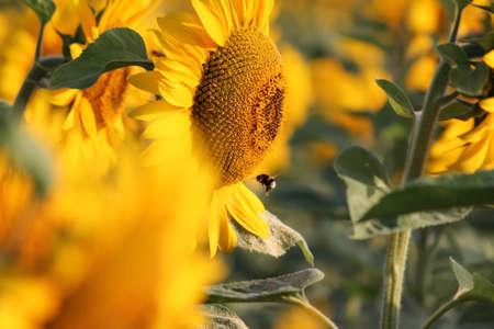 ミツバチ、定数でヒマワリ