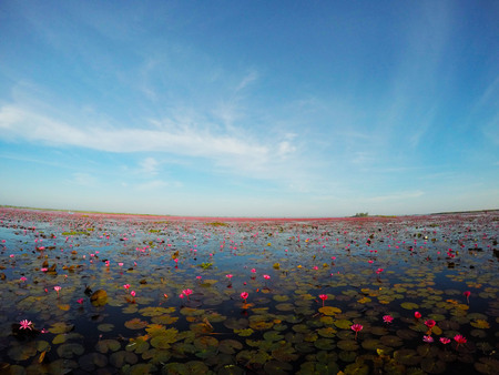 Water Lily grows in the swamp. Stock Photo
