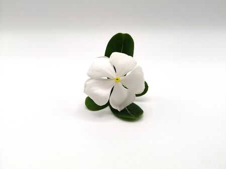 Madagascar periwinkle or Vinca or Old maid or Cayenne jasmine or Rose periwinkle on white background.