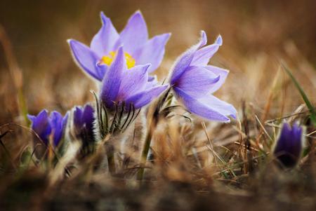 pulsatilla: Group of beautiful pulsatilla flowers