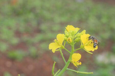 sucking: Bee is sucking the yellow flower nectar