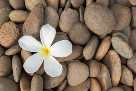 white frangipani on the rock photo