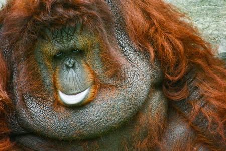 hominid: Orangutan close up