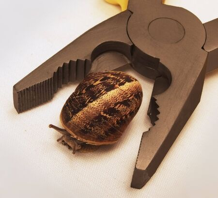 A snail is caught between the arms of a plier. Stock Photo