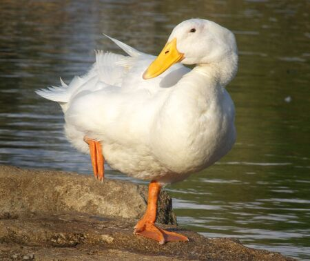 A white feathered goose standing on one leg on the banks of the Yarkon river in Tel Aviv