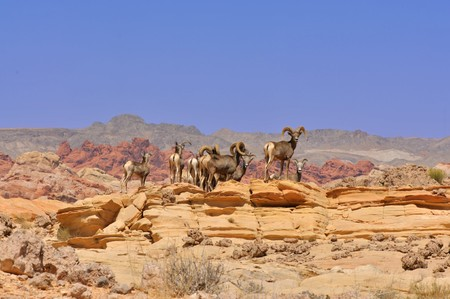 A herd of deer in the Valley of fire in Nevada Stock Photo