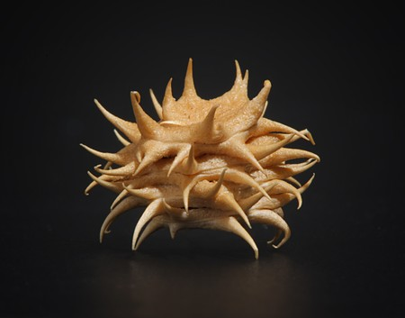 A nasty thorn with multiple sharp spikes Stock Photo