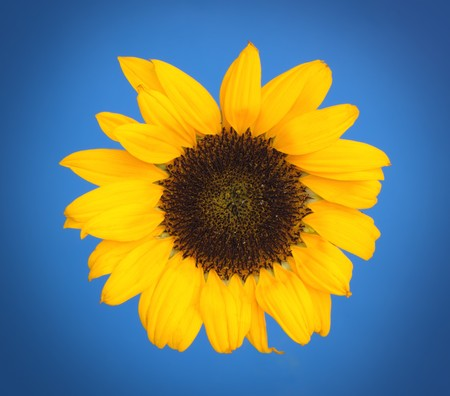 A sunflower with a light blue background gradually turning into darker blue