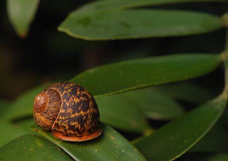 A dark shelled snail on a leaf