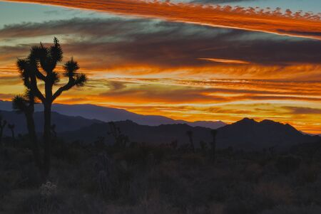 joshua: Joshua Tree Sunset
