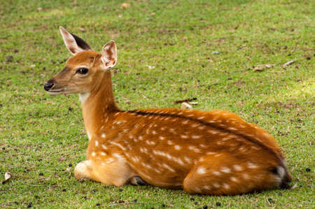 Spotted deer lay on the grass photo