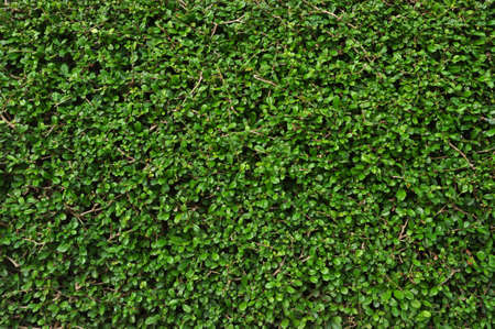 Green leaves wall texture background Fukien Tea tree