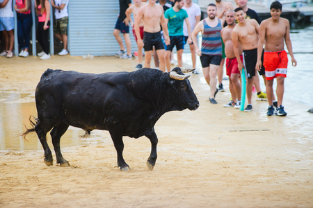 spanish bull: Bull being teased by brave young men in arena after the traditional spanish running-with-the-bulls during fiesta in the streets of Denia, Spain