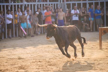 corrida de toros: Bull siendo molestado por los valientes hombres jóvenes en la arena después de la tradicional español en ejecución-con-los-toros durante la fiesta en las calles de Denia, España Editorial