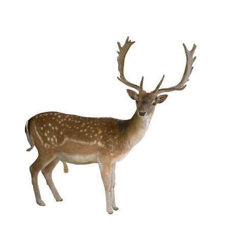 beautiful deer with antlers Stock Photo
