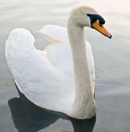 Beautiful Swan Floating Swimming On Pond photo