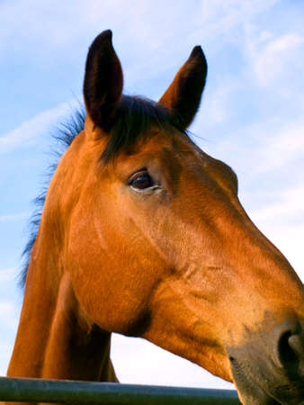Close Up Of Brown Horses Face Head With Blue Sky Background photo