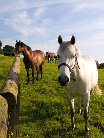 Paard in Beautiful Green Field in de Britse zomer ochtend