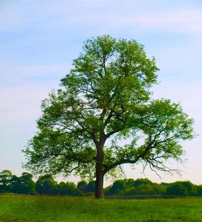 Old Oak Tree in Beautiful Green Field in British Summer Morning