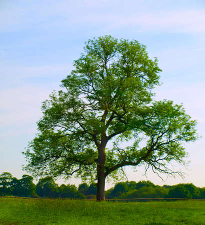 solitary tree: Old Oak Tree in Beautiful Green Field in British Summer Morning