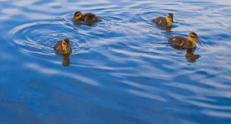 Geese and Ducks Swimming For Food Stock Photo