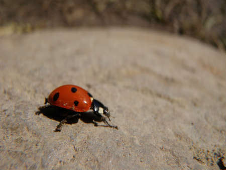 lady beetle: lady beetle sunbaking  Stock Photo