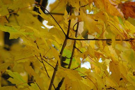 Maple Tree Stok Fotoğraf