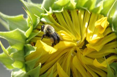 Bee n the SUnflower Banco de Imagens