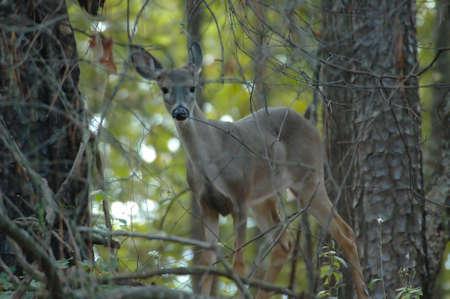 Deer on Red Top