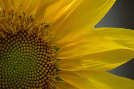 Sunflower in Bloom Stok Fotoğraf