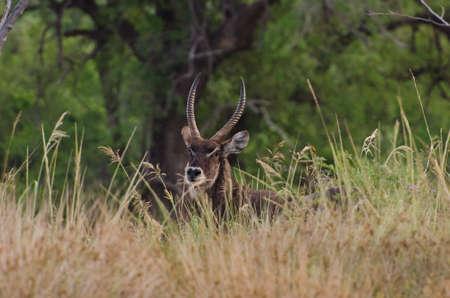 Water Buck with Flies Reklamní fotografie