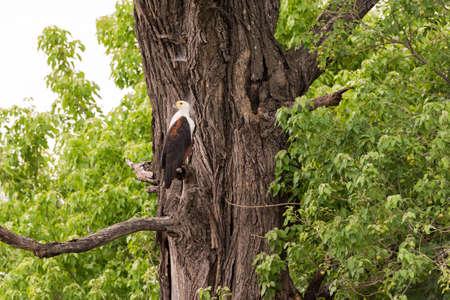 Okavango Delta: African Fish Eagle (Haliaeetus vocifer) perched in tree, Okavango Delta, Botswana Stock Photo