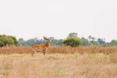 herbivore natural: Red Lechwe (Kobus leche) male standing in grassland flood plains, Okavango Delta, Botswana