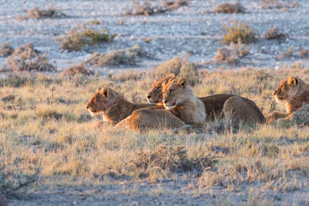 Group of Lions (Panthera leo) resting in early morning light, Etosha National Park, Namibia